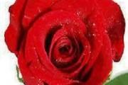 trandafirul in cosmetica